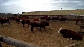 Вот как нужно откармливать бычков