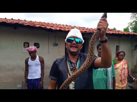 Russell's viper Highly venomous snake rescue from village snake rescue team Panchet dam (N G O)