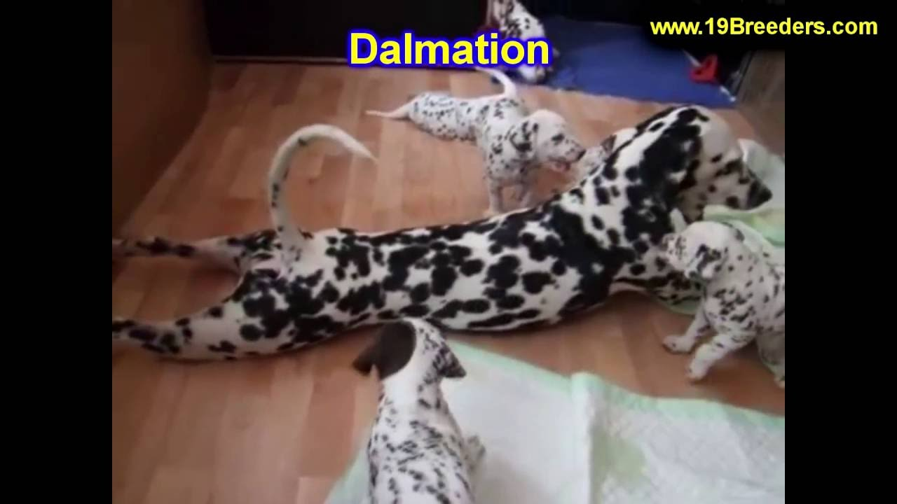 Dalmatian Puppies Dogs For Sale In Saint Louis County Missouri