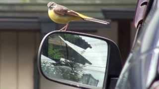 きセキレイが文弥の駐車場・車のサイトセミラーに自分が写って敵の侵入と縄張りを視聴、羽を大きく広げて威嚇して、サイドミラーにキック攻...