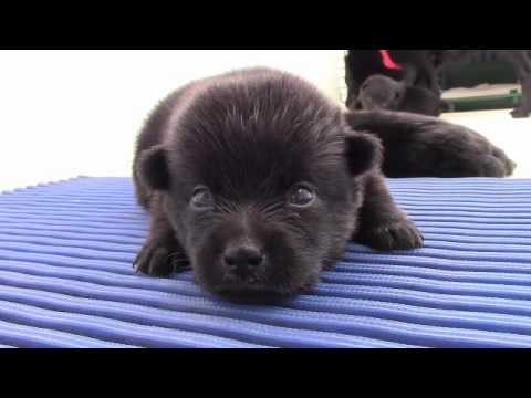 First month of 3 puppies Schipperke