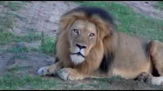 Rare African Lion Roar