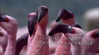 動物たちの求愛から、愛の表現方法を学ぶスペシャルムービー。 かわいく...
