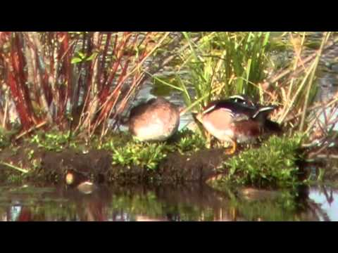 Wood Duck Courtship - A Tender Interaction