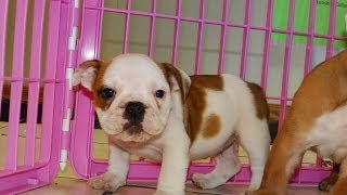 English Bulldog, Puppies, For, Sale, In, Charleston, South Carolina, Sc, Cayce, Beaufort, Bluffton,