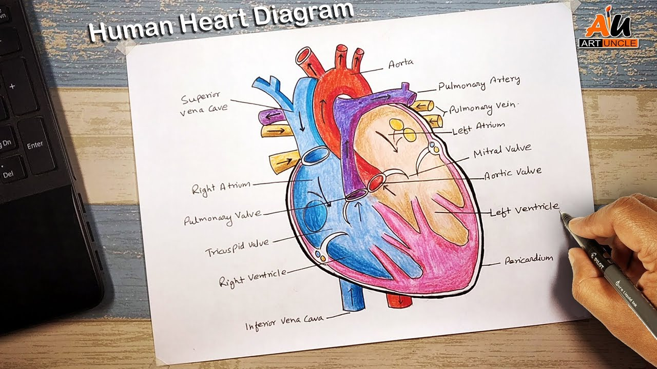 How to draw human #heart_diagram :Life processes | NCERT ...