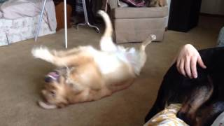 Viral Video Uk: Golden Retriever Pup Plays Dead