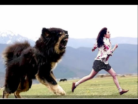 World S Largest Dog Breeds Top