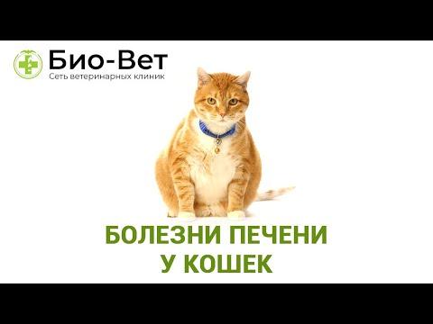 Лечение гепатита у кошек в домашних условиях