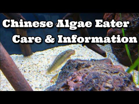 Chinese Algae Eater Care & Information
