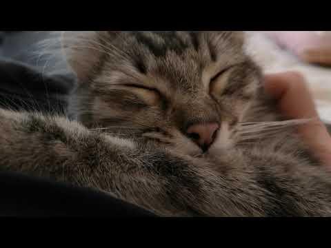 American curl cat named Lotus