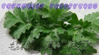 ⟹ WORMWOOD | artemisia absinthium vs. Artemisia vulgaris | do you know the difference?
