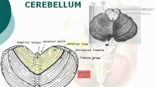 40  Cerebellum الدكتور أحمد كمال   Neuroanatomy 40 cxt