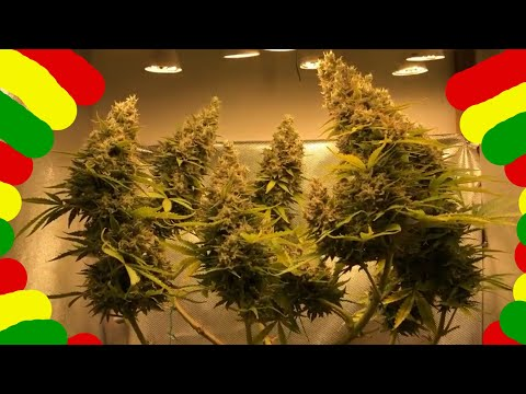 🍓8.Шишки конопли марихуаны на домашних лампах.Швази(Сезон5)