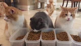 Lots of Maine Coon Cats!