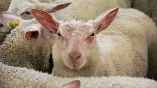 La foire aux bestiaux de Parthenay