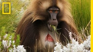 Spend a Day With the World's Only Grass Eating Monkeys | National Geographic