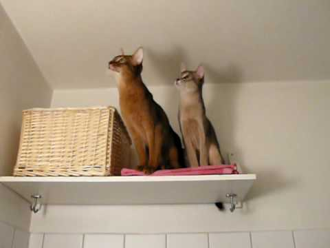Cutest Abyssinian kittens / cats talking with a small bug
