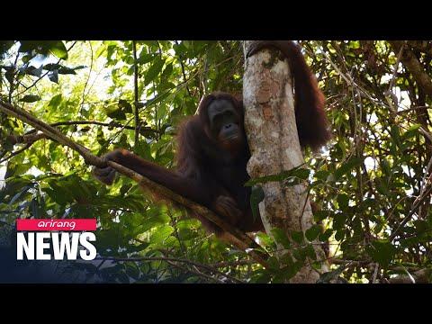 10 Orangutans Released Into Wild From Indonesian Rehabilitation Center