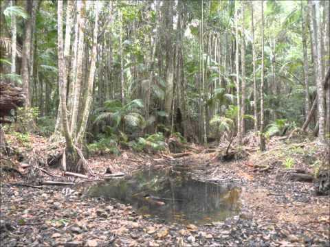 Looking for Australian Red Cedar trees
