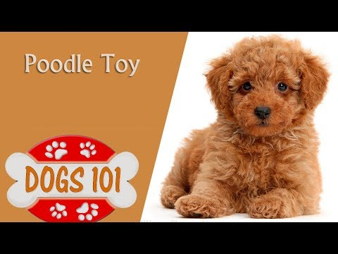 Dogs 101 - TOY POODLE - Top Dog Facts About the TOY POODLE