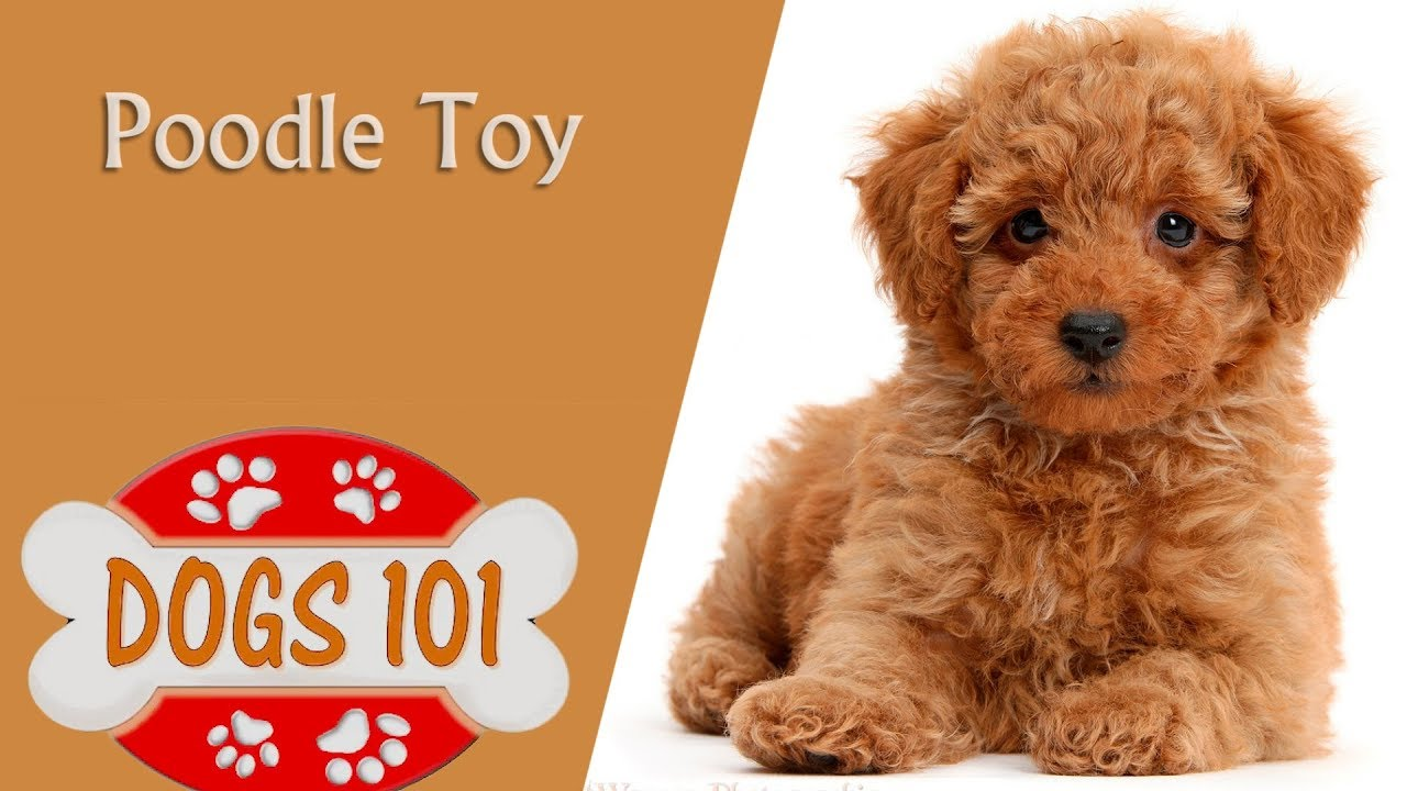 Dogs 101 Toy Poodle Top Dog Facts About The Toy Poodle