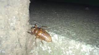 夕方に成虫になる前のセミが歩いていたのを発見。 初めてみた!