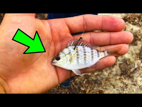 Fishing With LIVE Pinfish! BIG FISH Can't Resist This Bait