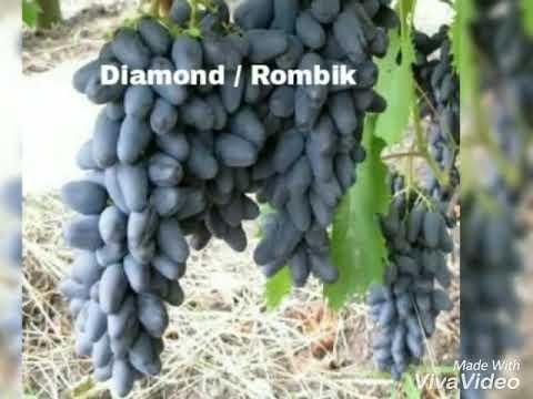 jenis-jenis-buah-anggur-wa-085733660033-bibitnya-ada-di-sini,-ongkos-kirim-gratis