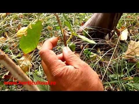 www.horticultorul.ro Altoirea pomilor