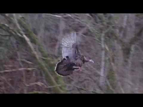 Flying Turkeys, 2011-12-05 Thanksgiving