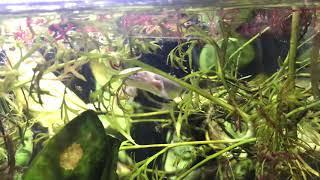 ポリプテルス セネガルス 赤虫を食べる😋