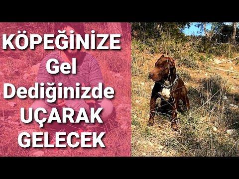 Yavru cane corsa getir komutu yavru köpek eğitimi #köpekeğitimi #yavruköpekeğitimi