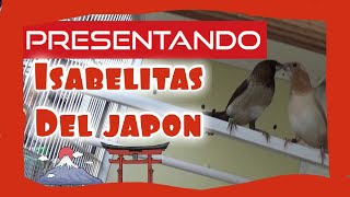 Presentando 🐦 Isabelitas del Japón 🇯🇵(Fauna Indoor)