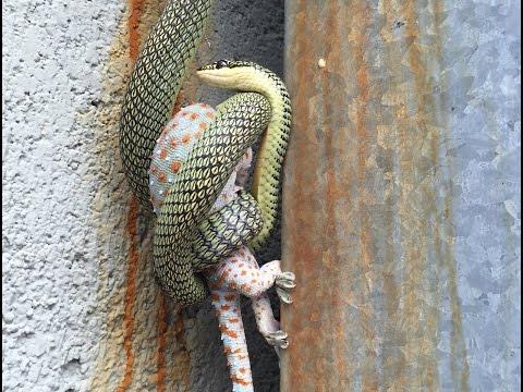 Snake vs Gecko