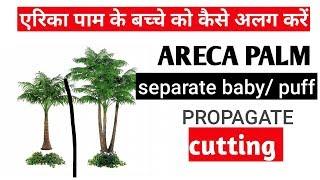 how to grow cutting of areca palm  एरिका पाम की कटिंग