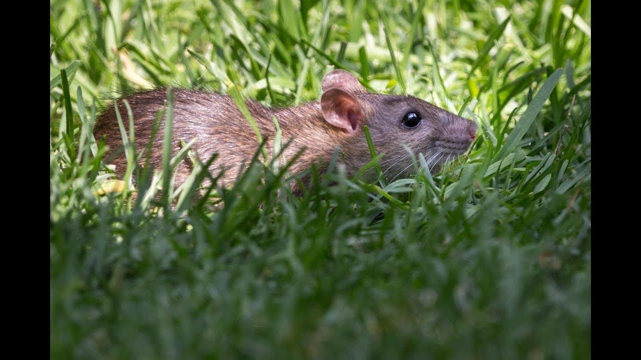 Rat Apocalypse | Rat infestation in backyard - YouTube