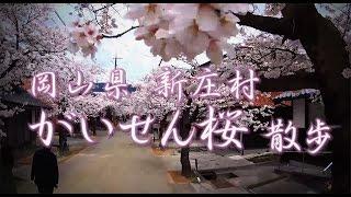 がいせん桜 散歩動画  岡山県新庄村【花見】