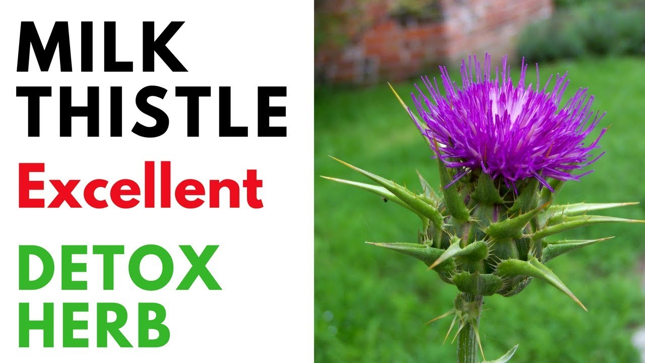 milk thistle benefits for liver  heart  kidney and whole