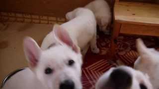 ホワイトシェパードの子犬販売情報http://www.dog-lien.com/index.php?W...