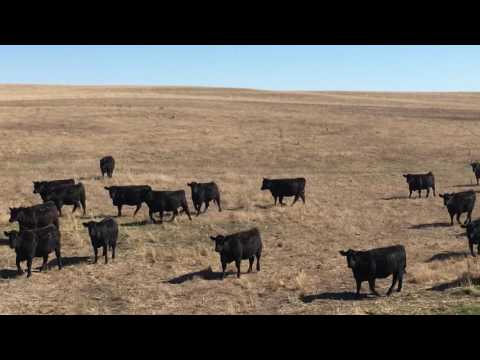 Angus Bred Heifers for sale in Nebraska
