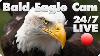 Bald Eagle Live Cam