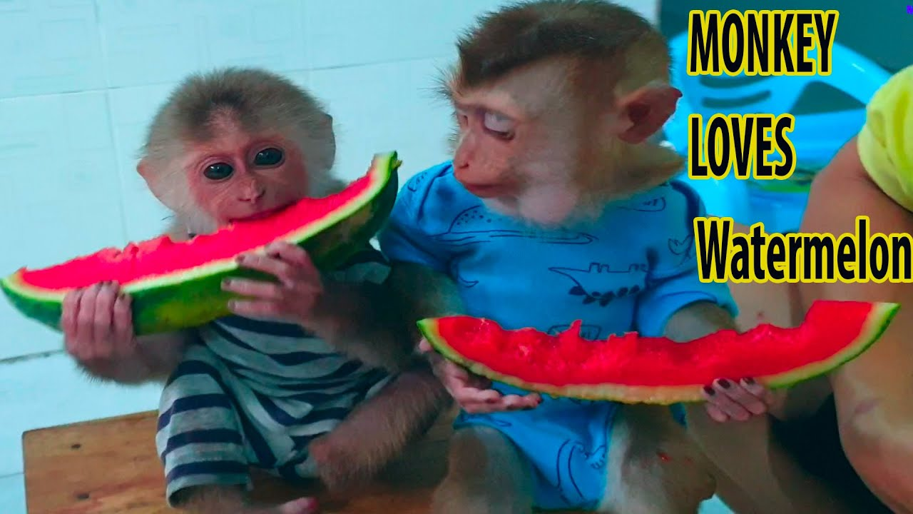 Baby Monkey After Being Rescued From hunter Khai Takes Care Of Eating Waterm