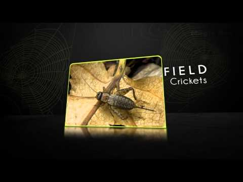Crickets -Insects And Reptiles- Pre School-Animation Videos For Kids
