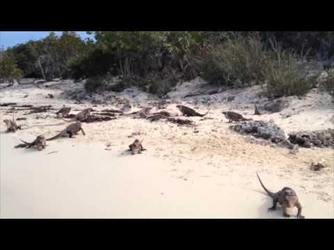 Rock Iguanas, Allen's Cay Bahamas