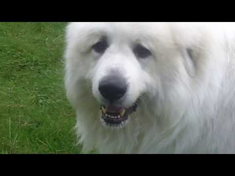 Pyrenean Mountain Dog STAR Yogi. Great Pyrenees