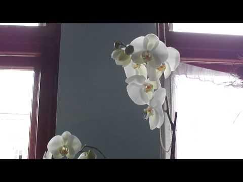 Огромная белая орхидея, высота 120 см...