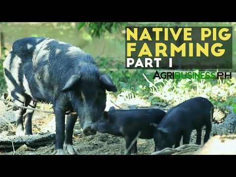 Native Pig Farming Part 1 : Native Pigs in the Philippines | Agribusiness Philippines