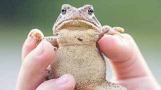 Toads Give You Warts? -- Thought Glass #11