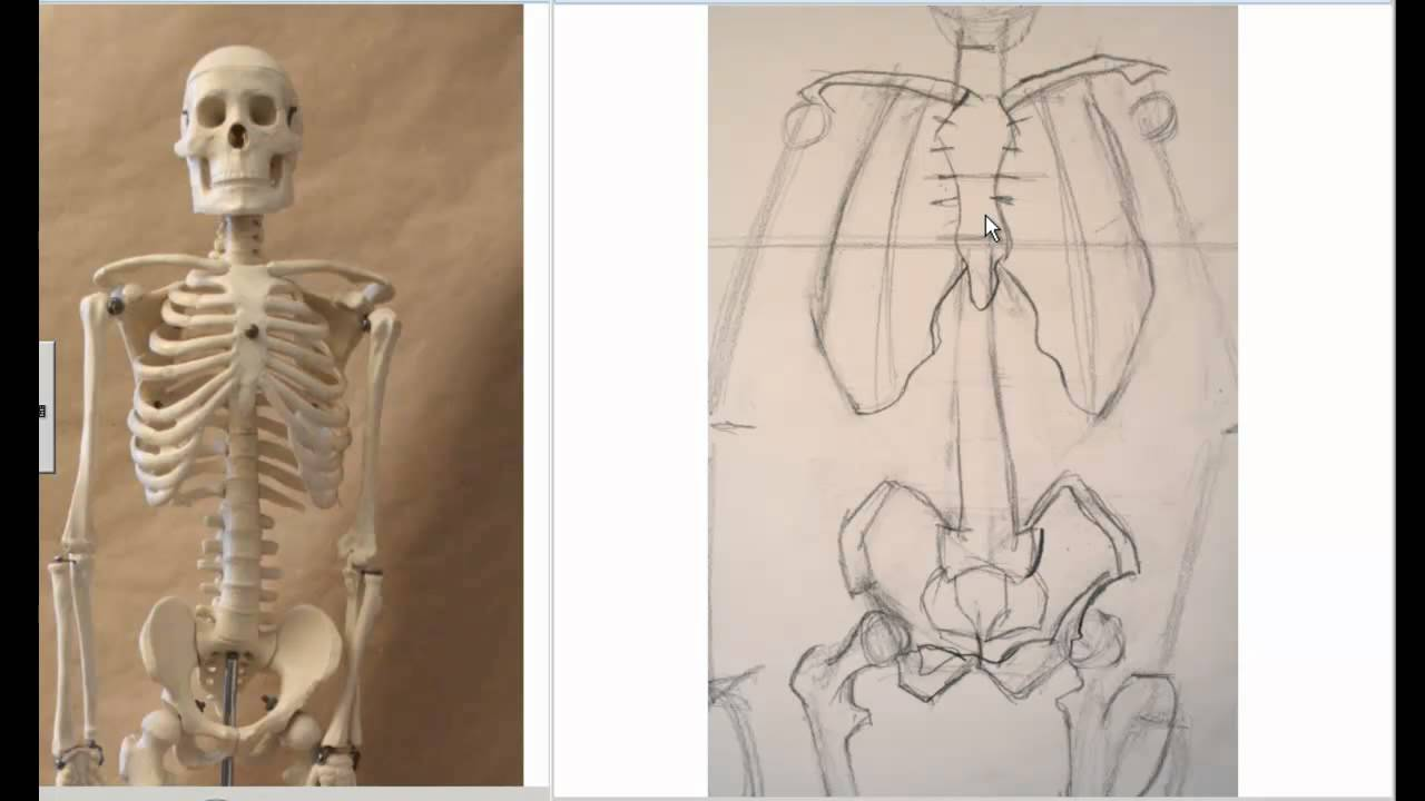 Drawing The Skeleton Front View Preparation For Life Drawing Youtube